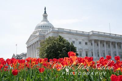 Capitol Tulips 4