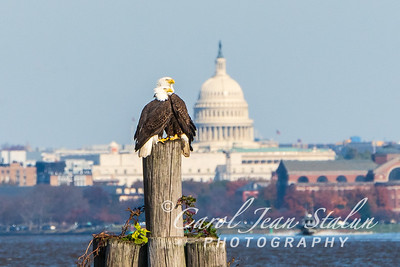 Eagle Eyes on Capitol