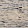 Malibu-0207<br /> Pelican's Breakfast