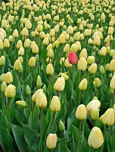 Bed of Yellow Tulips with One Lone Pink Tulip