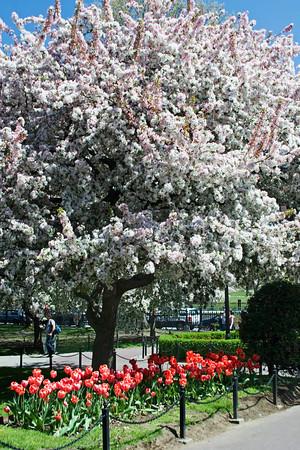 Boston Public Garden Magnolai Tree