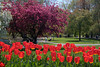 Red Tulips and Magnolia Tree