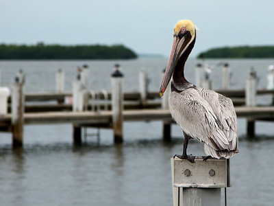Pelican Perched on a Piling