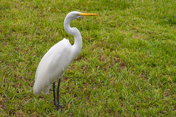 Great Egret or White Heron
