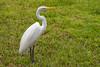 Great Egret or White Heron