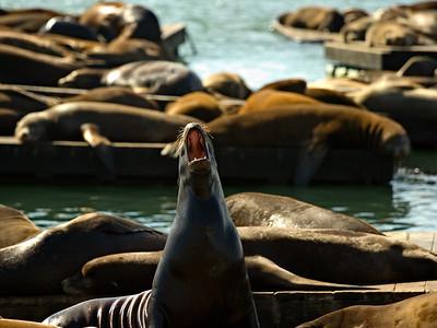 Sea Lions Resting at Pier 39, San Francisco