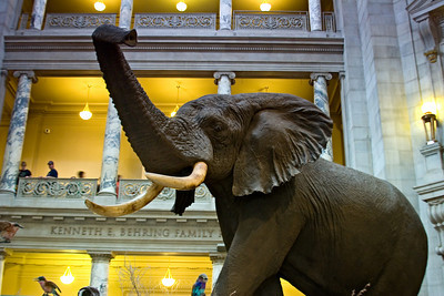 Elephant in the Lobby of the Natural History Museum, Washington
