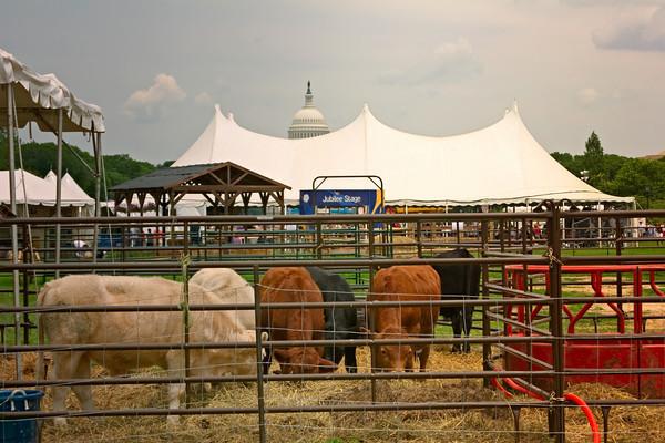 Cows Grazing on the National Mall, Washington DC