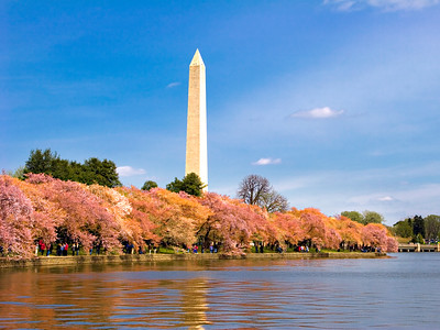 Cherry Blossoms at the Tidal basin