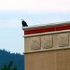 Juneau Alaska, Bald Eagle Perched on Building, Downtown Juneau