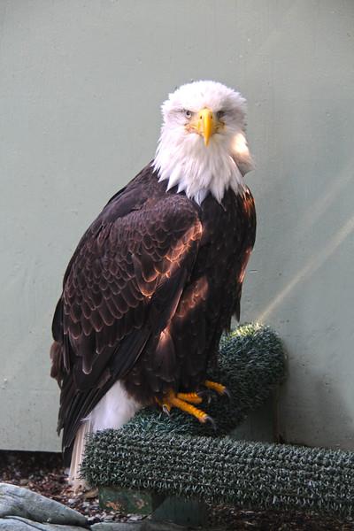 Juneau Alaska, Mount Roberts Eagle Sanctuary