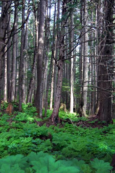 Juneau Alaska, Jensen-Olson Arboretum, Forest Scene
