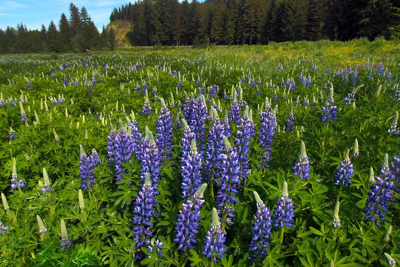 Juneau Alaska, Eagle River, Meadow Lupines