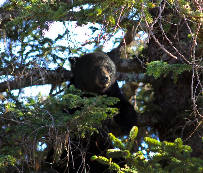 Juneau Alaska, Bear in Tree at Taku Glacier Lodge