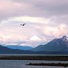 Un-Cruise Adventures, Sea Gull Flying Over Sitakaday Narrows, Glacier National Park