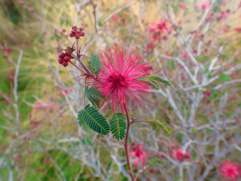 Arizona, Scottsdale, Baja Fairy Duster Flower