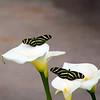 Arizona, Scottsdale, Butterfly Wings Exhibit