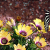 Arizona, Scottsdale, Desert Blooms with Butterfly