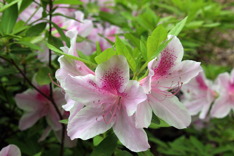 Hot Springs Arkansas, Azaleas, Garvan Woodland Gardens