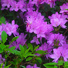 Hot Springs Arkansas, Garvan Woodland Gardens, Azaleas
