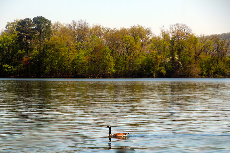 Hot Springs Arkansas, View from Lookout Point Lakeside Inn, Swan in Lake