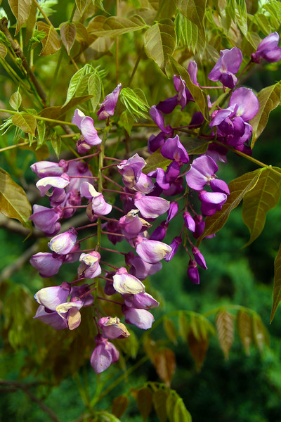Hot Springs Arkansas, Garvan Woodland Gardens, Wisteria Blooms