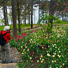 Hot Springs Arkansas, Garvan Woodland Gardens, Tulip Field with View on Lake Hamilton