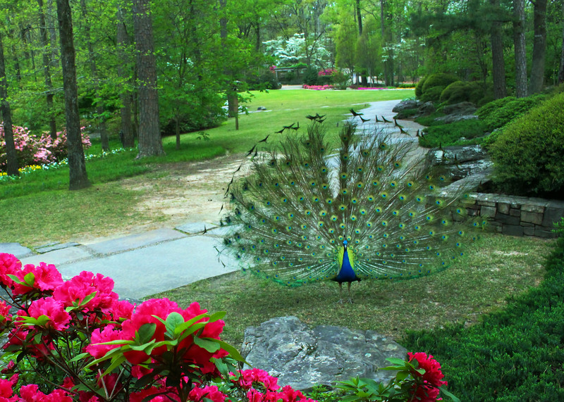 Hot Springs Arkansas, Preening Peacock, Garvan Woodland Gardens
