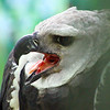 Boise World Center for Birds of Prey, Harpy Eagle