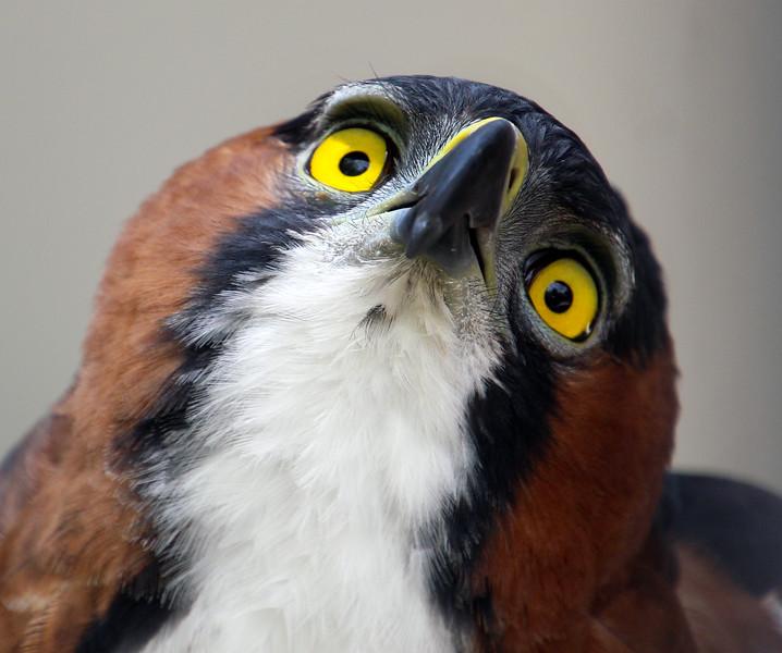 Boise World Center for Birds of Prey, Hawk Owl
