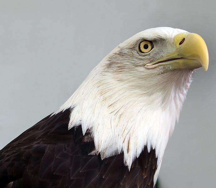 Boise World Center for Birds of Prey, American Bald Eagle