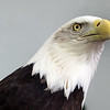 Boise World Center for Birds of Prey, American Bald Eagle