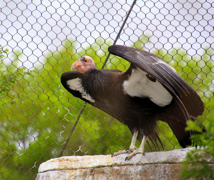 Boise World Center for Birds of Prey, California Condor