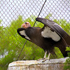 Boise World Center for Birds of Prey, California Condor