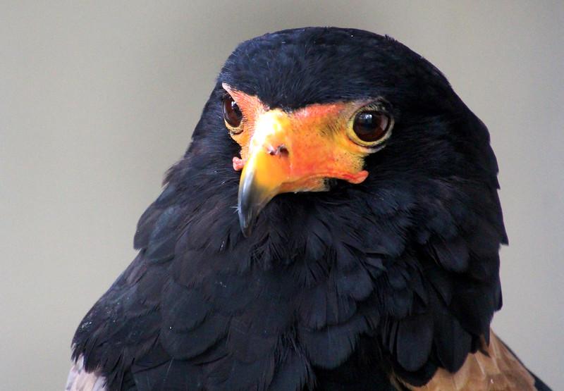 Boise World Center for Birds of Prey, Bateleur eagle