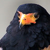 Boise World Center for Birds of Prey, Bateleur eagle