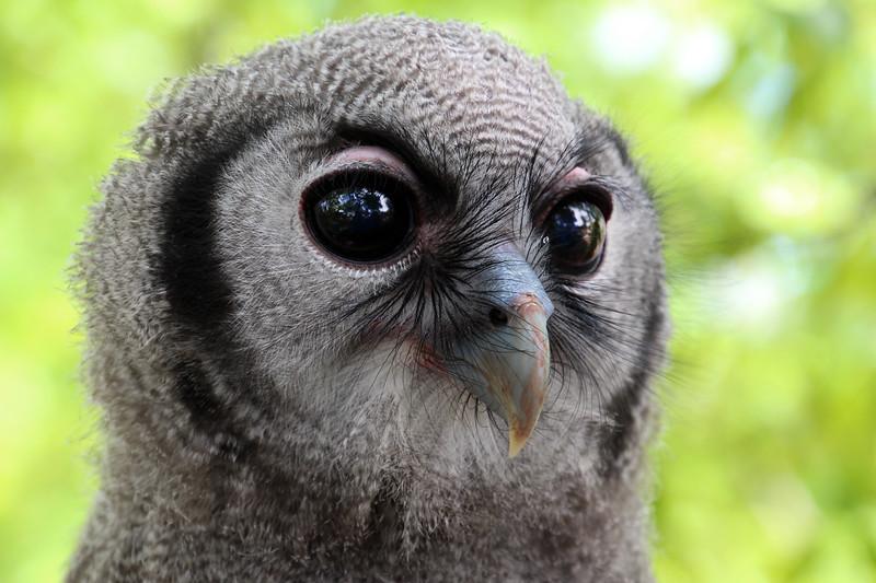 "Boise World Center for Birds of Prey,  ""Ollie""  Milky Eagle Owl"