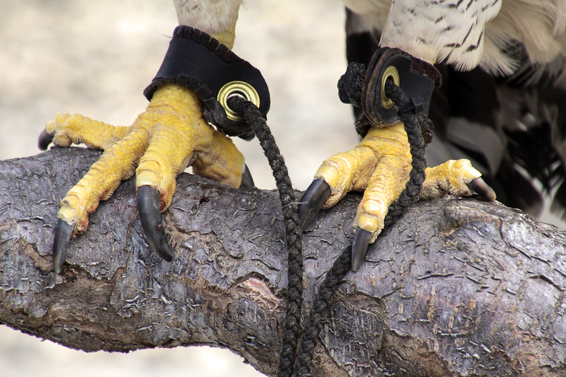 Boise World Center for Birds of Prey, Harpy eagle talons