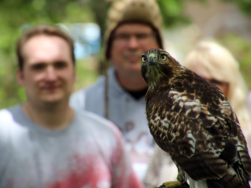 Boise, Birds of Prey center, Red tail hawk