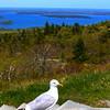 Acadia National Park, Cadillac Mountain, Sea Gull