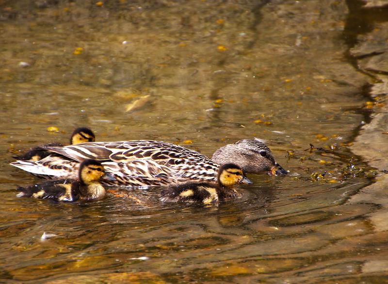 Camden Maine, Duck Family in Harbor