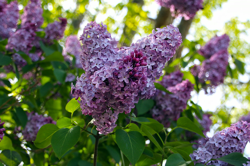 Maine, Spring Lilacs