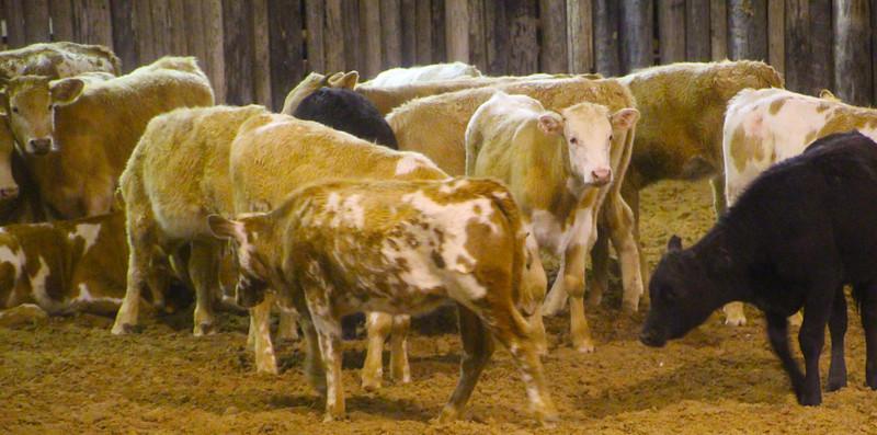 Brenham-Washington County Texas, Texas Ranch Life, Guest Ranch Cattle