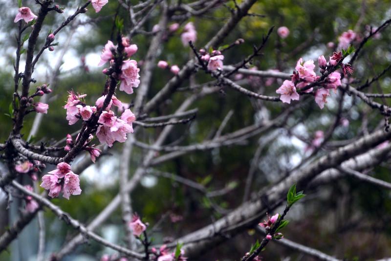 Brenham-Washington County Texas, Antique Rose Emporium, Spring Blooms