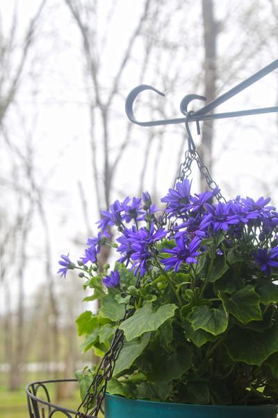 Brenham-Washington County Texas, Chappell Hill Lavender Farm, Spring Blooms