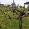Brenham-Washington County Texas, Spring Grape Vines