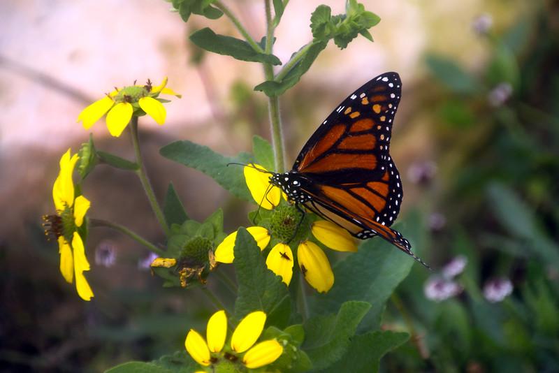 Fredericksburg Texas, Lady Bird Johnson, Nature Center, Monarch Butterfly