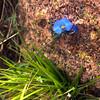 Fredericksburg Texas, Enchanted Rock, Blue Wildflower Bloom on Trail