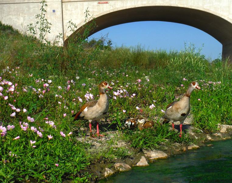 San Antonio, Water Fowl Family, River Walk Extension