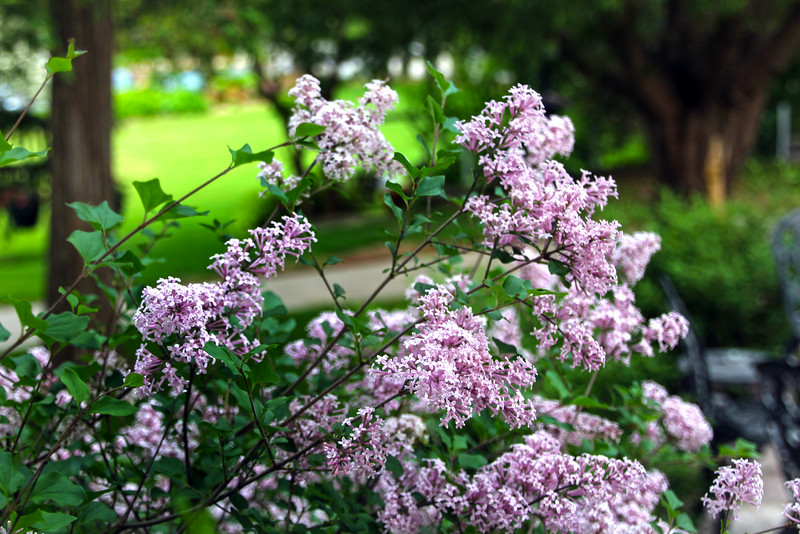 Elkhart Lake Wisconsin, Spring Lilacs